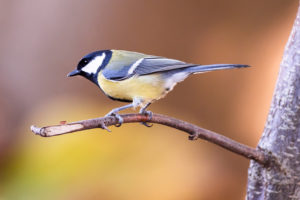 GREAT TIT 1.1